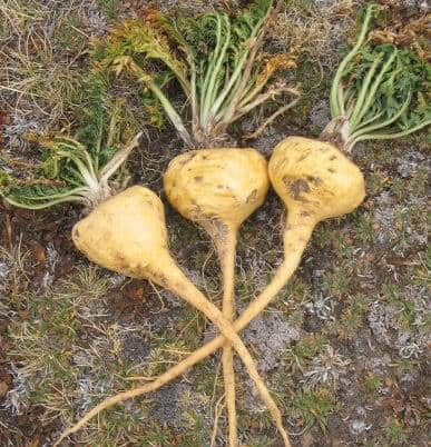 Maca and Male Fertility – Does It Really Work?