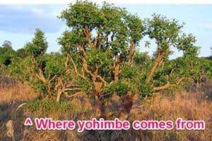 yohimbe bark tree, yohimbe is found in sex pills