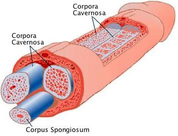 corpora cavernosa