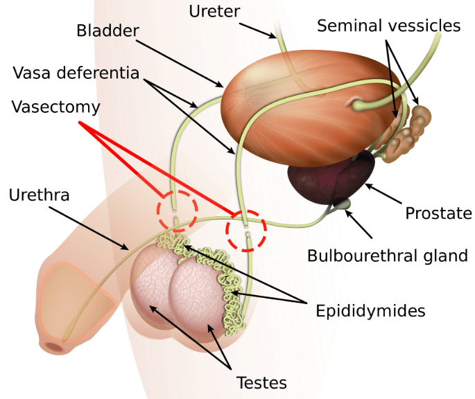 testosterone is produced in the testicles