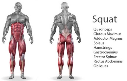 muscles used in a squat