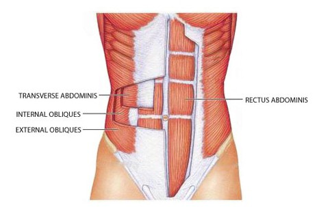 the muscles that make up the abs
