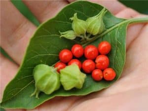 Ahwagandha is included in the list of ingredients for Libido Max For Women