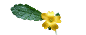 Damiana Leaf is found in Provestra