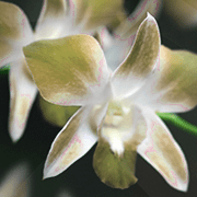 This ingredient, eria jarensis, found in Alpha Lean 7 is originally sourced from an orchid species